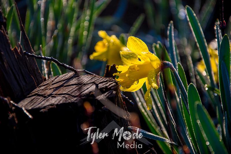 14  G Daffodil and Stump