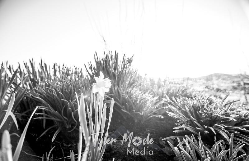 2  G Lone Daffodil BW