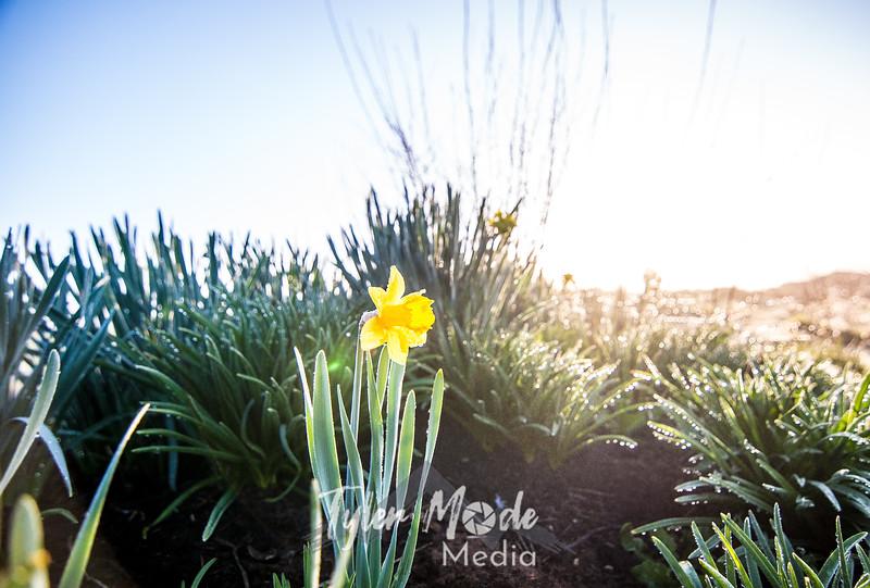 3  G Lone Daffodil