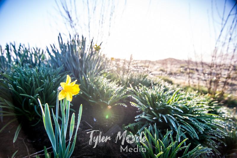5  G Lone Daffodil