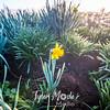 4  G Lone Daffodil
