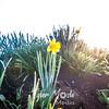 1  G Lone Daffodil