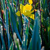 15  G Daffodils V