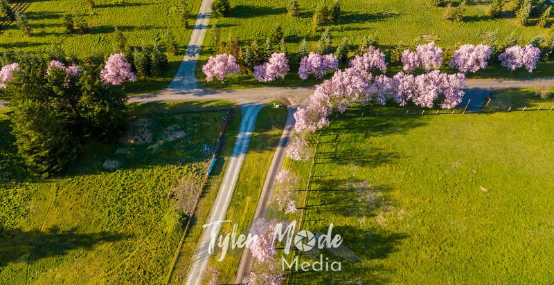 13  G Plum Trees Drone