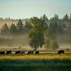 21  G Morning Mist Cows