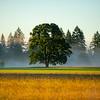 16  G Tree Morning Mist