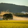 14  G The Old Tree Morning Mist