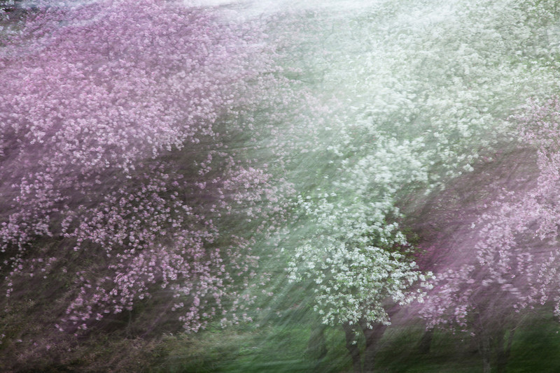 Flowering Tree Abstract<br /> (IMG_2828)