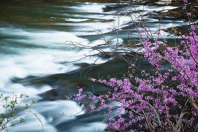 Redbuds along the South Branch  of the Potomac River, WV (IMG_5499)