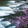 Redbuds along the South Branch <br /> of the Potomac River, WV<br /> (IMG_5499)
