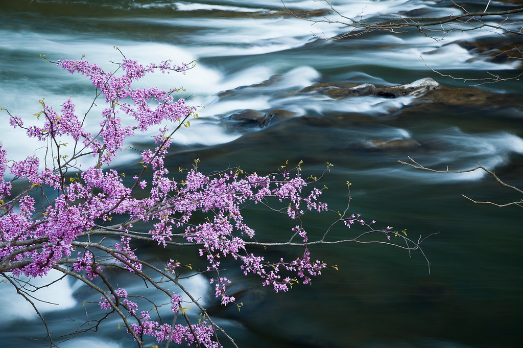 Redbuds along the South Branch <br /> of the Potomac River, WV<br /> (IMG_5538)