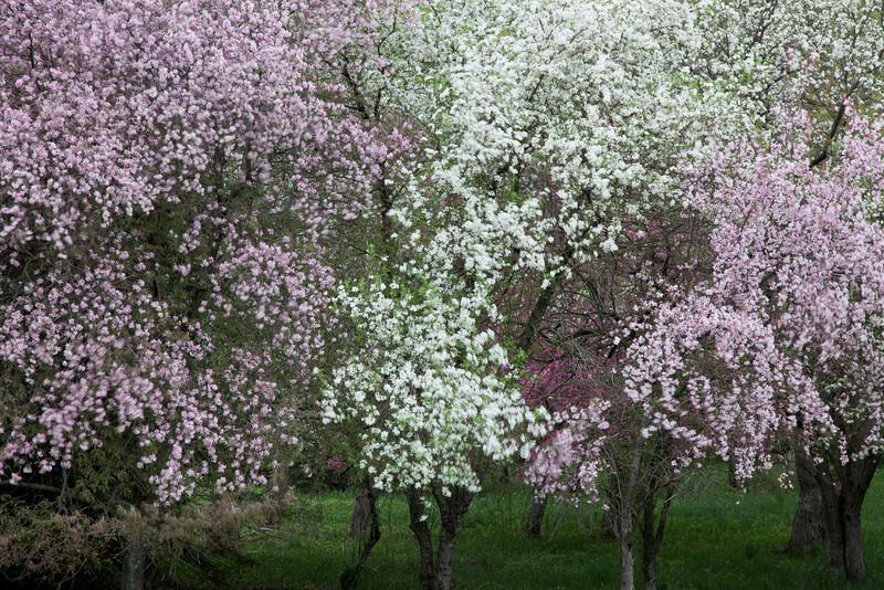 Flowering Trees <br /> (IMG_2841)