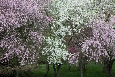 Flowering Trees  (IMG_2841)