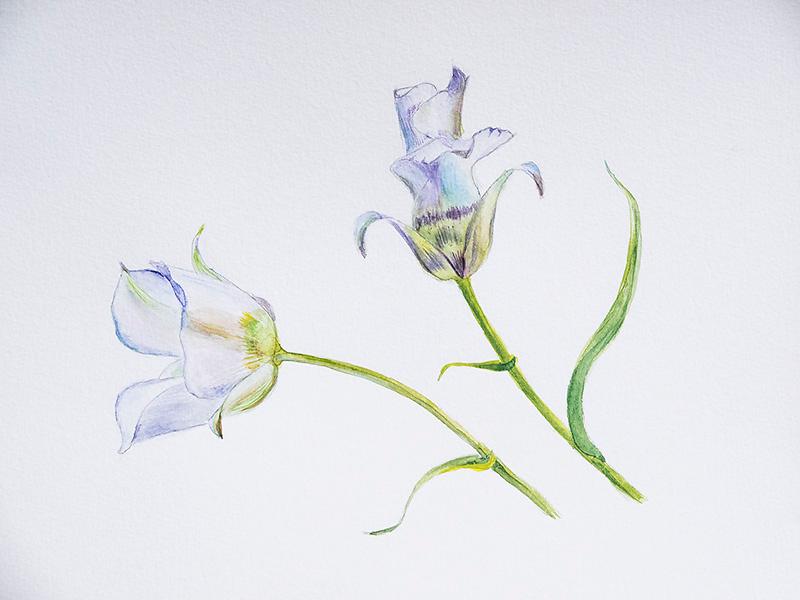 White Sego Lily