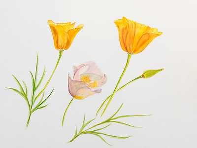 Arizona golden poppy