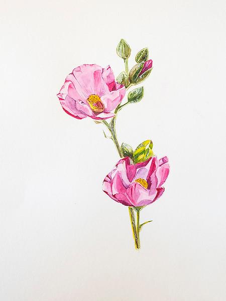 Pink desert mallow