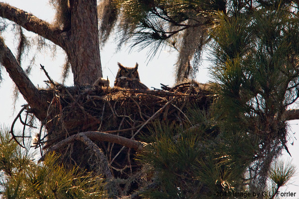 Great Horned Owl & Baby