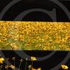 FLOWER FIELD 5-09 058