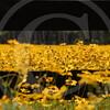FLOWER FIELD 5-09 052