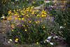 desert flowers-8713