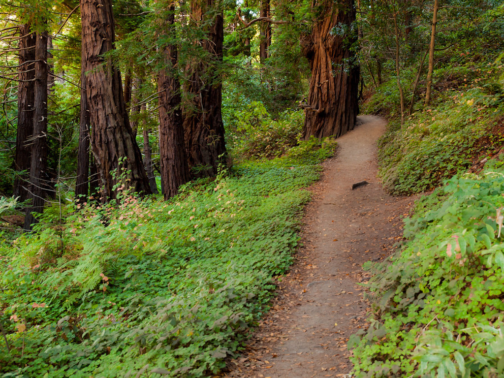 A trail in Garapata state park on US1 in Big Sur, CA. I wanted to get here in 2010, but all the road construction guys chose this spot to park their stuff so there was no access. It isn't an unlogged redwood grove, but the trees are still massive for sure.