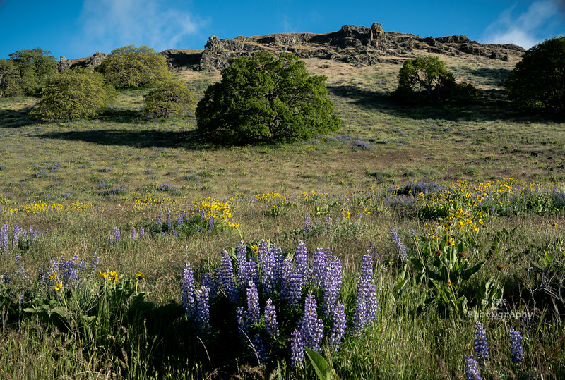 dalles lupine balsomroot-1003