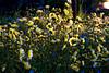 morning light lillies-0011