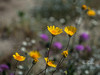 desert flowers-8293
