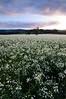 newberg flower field-3298