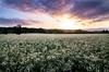 newberg flower field-3283