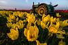 woodburn tulips tractor-1954