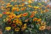 marigold madness--8628