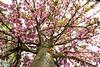 cherry blossom tree-2446