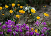 desert flowers-8676