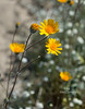 desert flowers-8283