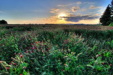 clover fields sunset
