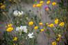 desert flowers-8632