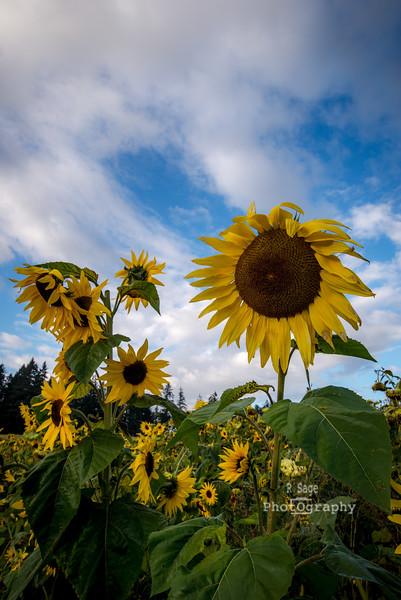 fall sunflowers-1540