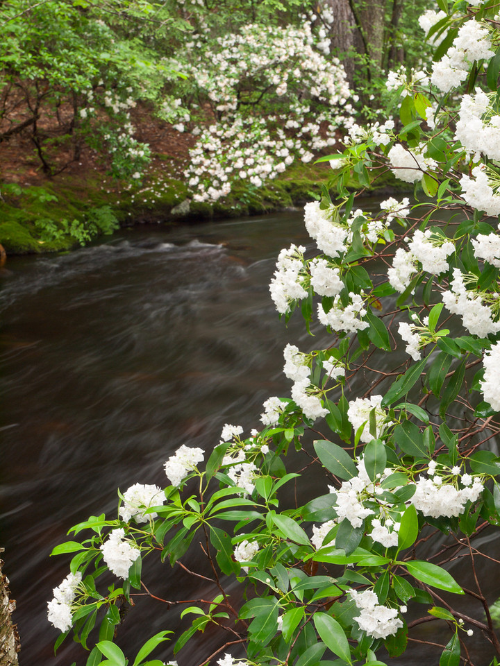 Looking for ways to show the relationship between the mountain laurel and Purgatory brook.  Contortions ensue.