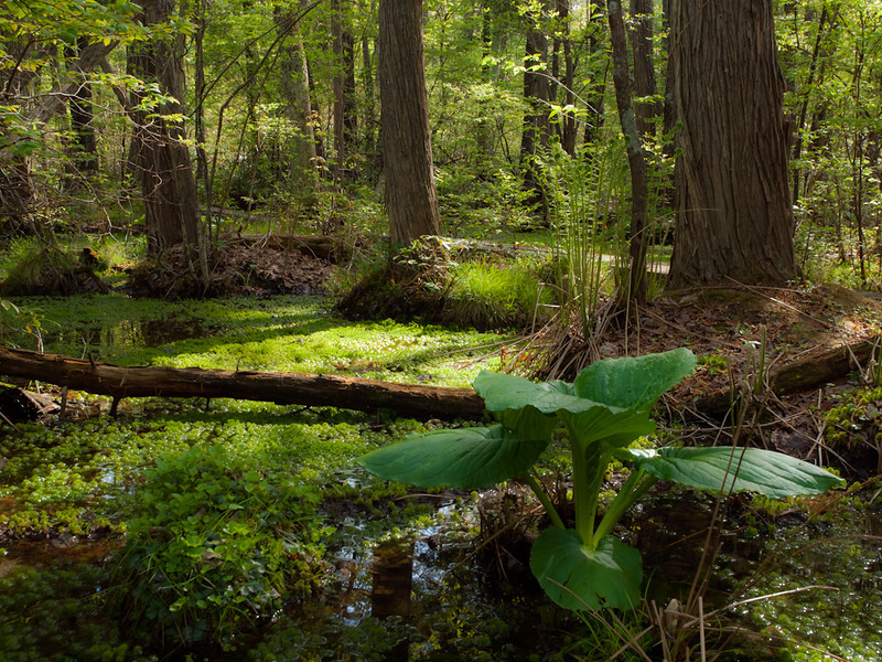 In a few more weeks the ferns will provide a bit more shade on that great sphagnum moss, but I couldn't resist shooting the cedar swamp in the afternoon light.  Isn't that skunk cabbage great??