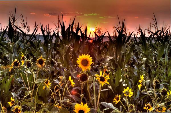 sunset & sunflowers_DSC0259_60_61_tonemapped copy