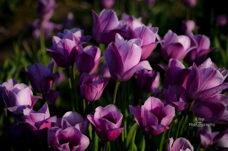 lovely lavender-1866