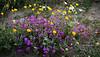 desert flowers-8673