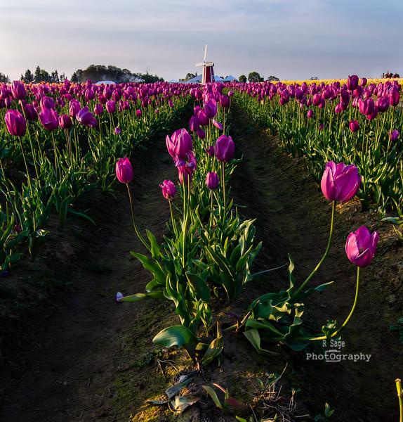 woodburn tulips windmill -1915