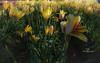 woodburn tulips-1827