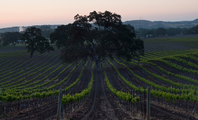 Vineyards @ Paso Robles, CA just before the sun rose.