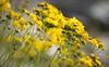 desert flowers-8236