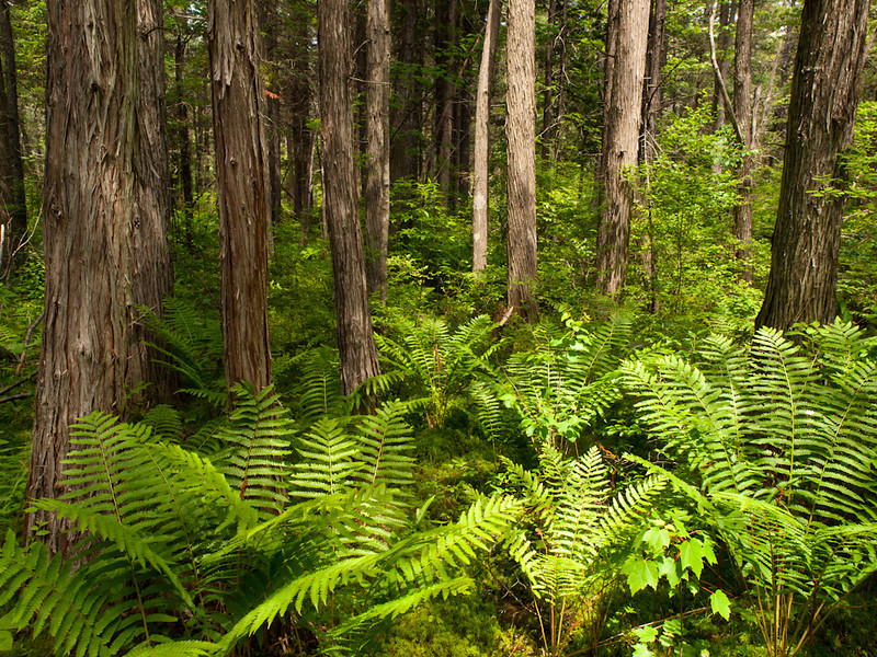 An atlantic white cedar swamp in all its lush glory is truly a wonder of nature.