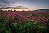 hwy 99 clover field-0429