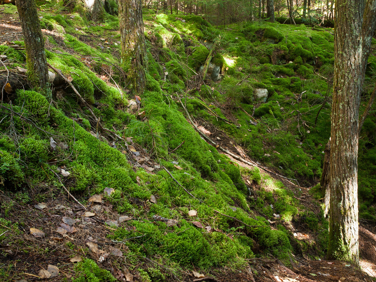 I think it's just me, but I love mossy spots in the forest.  This part of the bank of Smart's Brook stopped me in my tracks.
